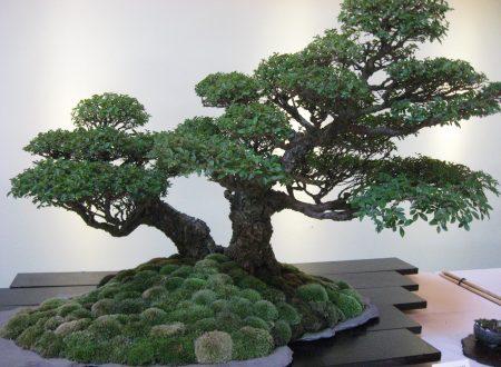Il bonsai, storia e filosofia