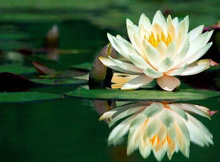 Fiore di loto, leggenda e significato
