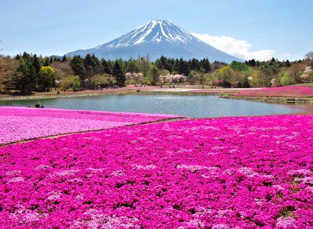 Shibazakura Matsuri, il festival giapponese del muschio rosa
